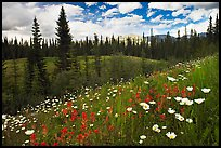 Red paintbrush flowers, daisies, and mountains. Banff National Park, Canadian Rockies, Alberta, Canada (color)