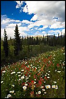 Meadow with Red paintbrush flowers and daisies. Banff National Park, Canadian Rockies, Alberta, Canada (color)