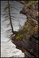 Spruce tree growing on a steep ledge,  Athabasca Falls. Jasper National Park, Canadian Rockies, Alberta, Canada (color)