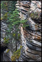 Trees and canyon walls,  Athabasca Falls. Jasper National Park, Canadian Rockies, Alberta, Canada (color)