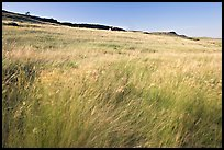 Tall prairie grasses blown by wind and cliff, Head-Smashed-In Buffalo Jump. Alberta, Canada ( color)