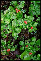 Leaves and berries,  Uclulet. Vancouver Island, British Columbia, Canada (color)