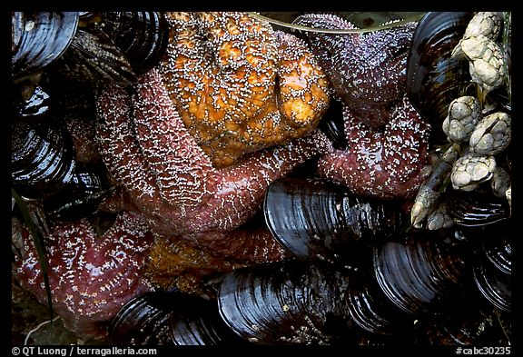 Sea stars and mussels,  South Beach. Pacific Rim National Park, Vancouver Island, British Columbia, Canada