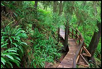 Boardwalk in rain forest. Pacific Rim National Park, Vancouver Island, British Columbia, Canada (color)