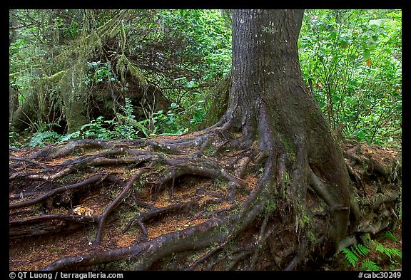 Tree growing on a nurse log. Pacific Rim National Park, Vancouver Island, British Columbia, Canada