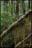 Moss in rain forest. Pacific Rim National Park, Vancouver Island, British Columbia, Canada ( color)