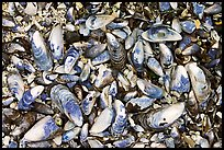 Mussel shells on beach. Pacific Rim National Park, Vancouver Island, British Columbia, Canada ( color)