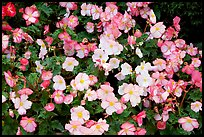 Pink and white begonias. Butchart Gardens, Victoria, British Columbia, Canada