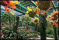 Bower overflowing with hanging baskets of begonias and fuchsias. Butchart Gardens, Victoria, British Columbia, Canada (color)