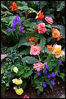 Multicolored begonias. Butchart Gardens, Victoria, British Columbia, Canada ( color)