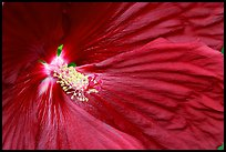 Hibiscus close-up. Butchart Gardens, Victoria, British Columbia, Canada ( color)