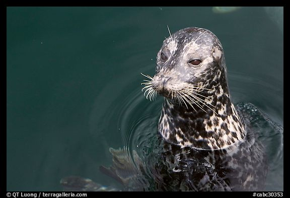 Harbour seal. Victoria, British Columbia, Canada