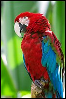 Colorful Parrot, Bloedel conservatory, Queen Elizabeth Park. Vancouver, British Columbia, Canada (color)