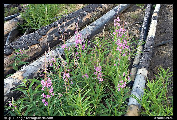 Fireweed and burned tree trunks. Kootenay National Park, Canadian Rockies, British Columbia, Canada