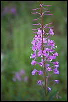 Fireweed close-up. Kootenay National Park, Canadian Rockies, British Columbia, Canada ( color)