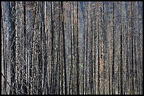 Burned tree trunks. Kootenay National Park, Canadian Rockies, British Columbia, Canada