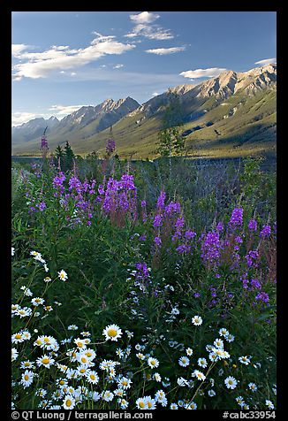 Daisies, fireweed, and Kootenay Valley, late afternoon. Kootenay National Park, Canadian Rockies, British Columbia, Canada