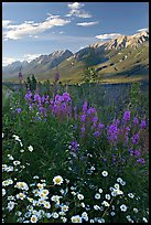 Daisies, fireweed, and Kootenay Valley, late afternoon. Kootenay National Park, Canadian Rockies, British Columbia, Canada (color)