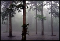 Trees outside of Xiangfeng temple in fog. Emei Shan, Sichuan, China (color)