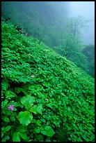 Wildflowers and ferns on a hillside in the fog between Xiangfeng and Yuxian. Emei Shan, Sichuan, China ( color)