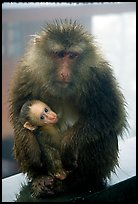 Monkey and baby monkey. Emei Shan, Sichuan, China ( color)