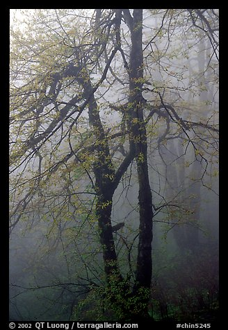 Trees in fog between Xixiangchi temple and Leidongping. Emei Shan, Sichuan, China (color)