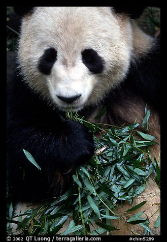 Panda eating bamboo leaves, Giant Panda Breeding Research Base. Chengdu, Sichuan, China (color)