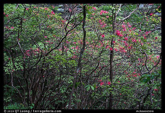 Blooming trees in forest. Huangshan Mountain, China (color)