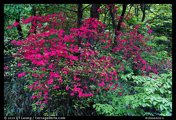 Vivid rhododendrons in forest. Huangshan Mountain, China (color)