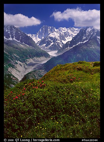 Meadow with wildflowers with Grandes Jorasses in the background, Chamonix. France