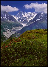 Meadow with wildflowers with Grandes Jorasses in the background, Chamonix. France ( color)
