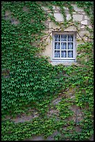 Ivy and window, Fontenay Abbey. Burgundy, France