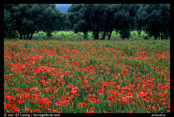 Red poppies and olive trees. Marseille, France
