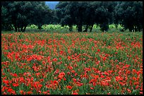 Red poppies and olive trees. Marseille, France (color)