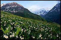 Wildflowers and Oisans range near Villar d'Arene, late afternoon. France ( color)