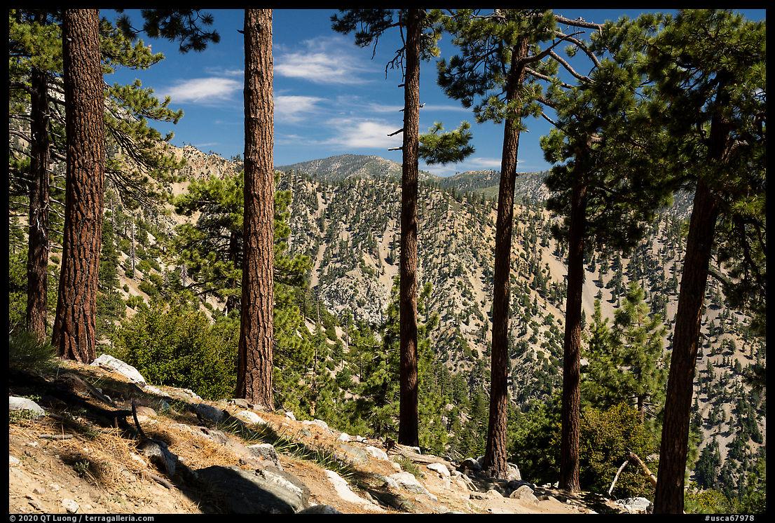 Row of pine trees, Baldy Bowl. San Gabriel Mountains National Monument, California, USA