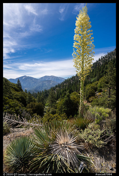 Mount Baldy from Vincent Gap with agave in bloom. San Gabriel Mountains National Monument, California, USA