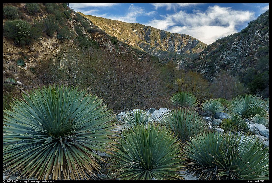 Yucca in East Fork San Gabriel River Canyon. San Gabriel Mountains National Monument, California, USA