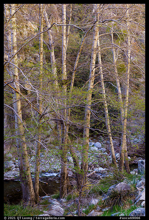 Trees with new leaves along East Fork of San Gabriel River. San Gabriel Mountains National Monument, California, USA