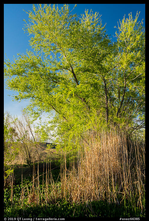 Wetland grasses and newly leafed tree. Parashant National Monument, Arizona, USA