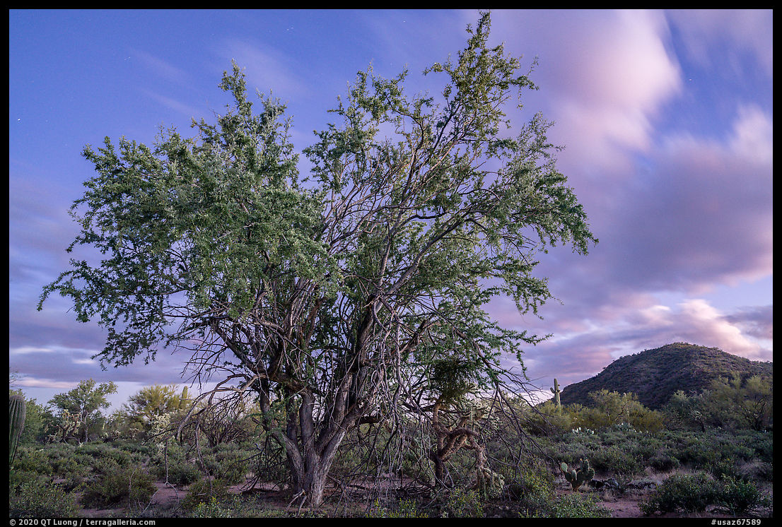 Ironwood tree and Cocoraque Butte at dusk. Ironwood Forest National Monument, Arizona, USA