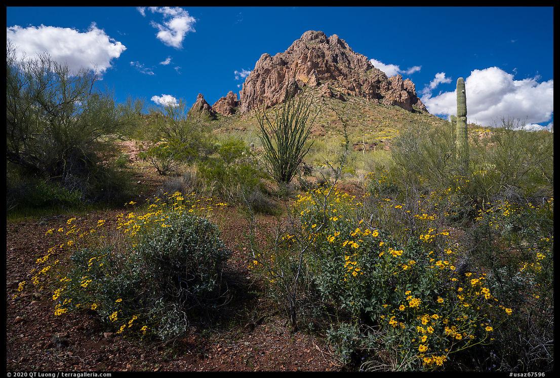 Brittlebush, ocotillo, and Ragged Top Mountain. Ironwood Forest National Monument, Arizona, USA