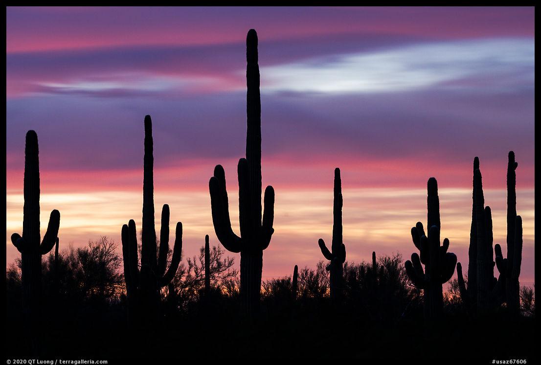 Saguaro cactus and sunset sky. Ironwood Forest National Monument, Arizona, USA
