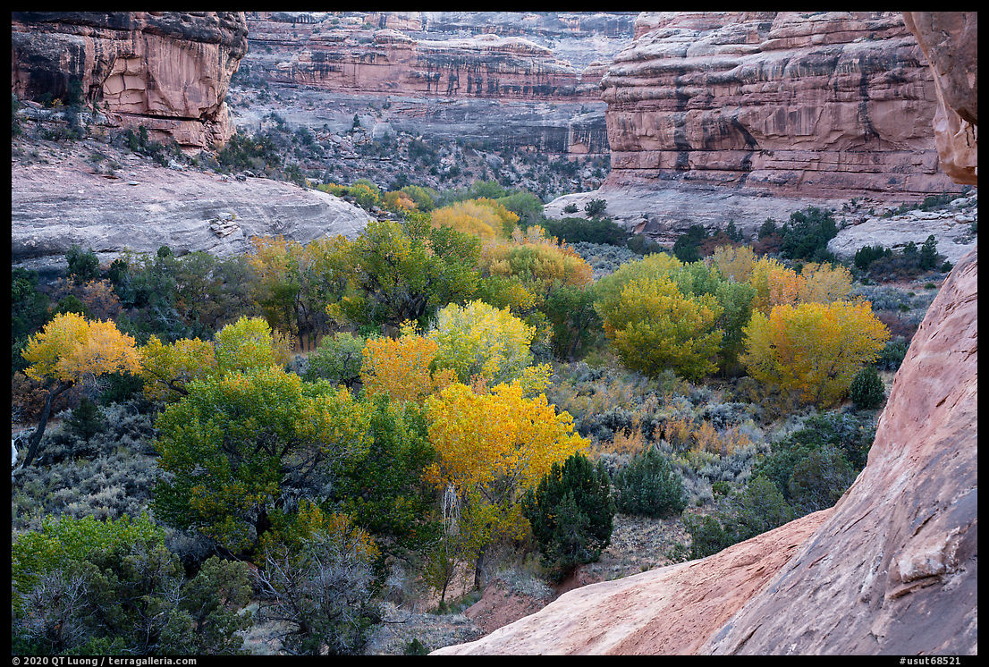 Cottonwoods in autumn color in Bullet Canyon. Bears Ears National Monument, Utah, USA