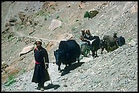 Group of people on narrow mountain trail with yaks, Zanskar, Jammu and Kashmir. India ( color)