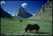 Yaks and Gumburanjan monolith, Zanskar, Jammu and Kashmir. India ( color)