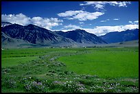 Wildflowers and cultivated fields in the Padum plain, Zanskar, Jammu and Kashmir. India ( color)