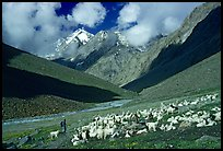 Trekker and sheep herd, Zanskar, Jammu and Kashmir. India