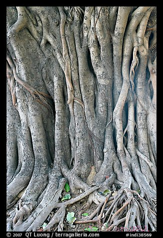 Banyan tree trunk detail. New Delhi, India (color)
