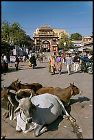 Sacred cows lying in Sardar Market. Jodhpur, Rajasthan, India